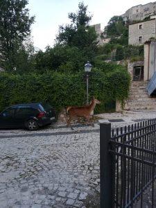 Deer in village in Barrea