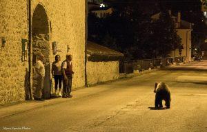 Marsicano Bear walks in Villetta Barrea