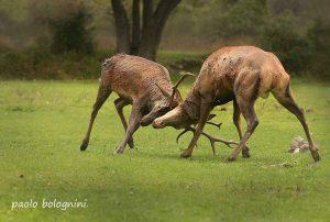 cervi combattimento