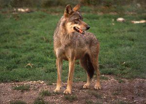 lupo parco nazionale d'abruzzo